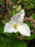Одиночный белый Trillium Стоковые Фотографии RF