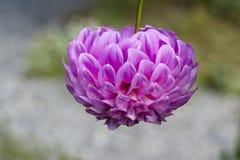 Одиночный вверх ногами цветок георгина продолжения папоротник-орляка Стоковое Изображение RF