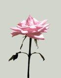 Одиночный вектор Розы пинка Стоковые Изображения