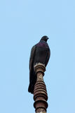 Одиночный голубь Стоковое Изображение