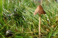 Одиночный гриб в солнечной лужайке Стоковое Фото
