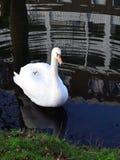 Одиночный лебедь i Стоковые Фотографии RF