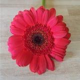 Одиночный детальный красный gerbera маргаритки Стоковая Фотография RF