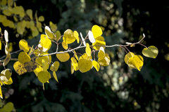 Одиночный лимб от дерева Aspen в лесе стоковое изображение rf
