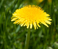 Одиночный конец-вверх макроса цветения одуванчика Стоковые Фотографии RF