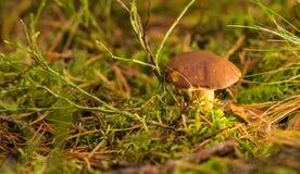 Одиночный коричневый гриб подосиновика в мхе Стоковое Изображение RF