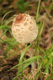 Одиночный коричневый гриб Стоковое Фото