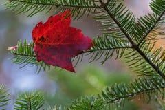 Одиночный красный кленовый лист Стоковое Изображение