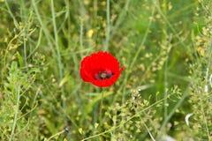 Одиночный красный мак стоит самостоятельно в поле созретого урожая рапса Стоковое Фото
