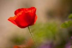 Одиночный красный цветок мака Стоковые Фотографии RF