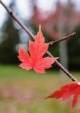 Одиночный кленовый лист в падении Стоковые Фото