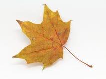 Одиночный кленовый лист стоковое изображение rf
