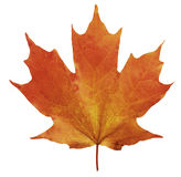 Одиночный кленовый лист 1 Стоковое Изображение