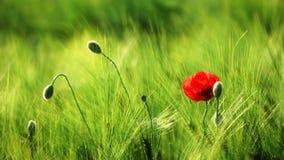 Одиночный мак в пшеничном поле Стоковые Фото