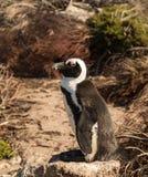 Одиночный малый пингвин младенца на заливе Bettys Стоковые Изображения RF