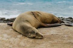 Одиночный морсой лев спать на утесах Стоковая Фотография RF