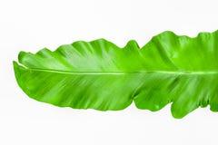 Одиночный молодой зеленый папоротник лист Стоковые Изображения RF
