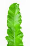 Одиночный молодой зеленый папоротник лист стоковая фотография