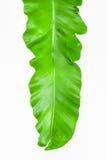 Одиночный молодой зеленый папоротник лист Стоковое фото RF