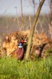 Одиночный мужской фазан с славными пер цвета сидит в траве Стоковые Изображения RF