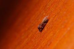 Одиночный муравей с крылами, конец крайности Formica вверх с высоким увеличением, этот муравей часто бич в домах, в деревянном Стоковая Фотография RF