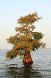 Одиночный облыселый кипарис растя в отмелом озере стоковые фотографии rf