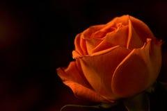 Одиночный оранжевый брызг поднял Стоковые Изображения RF
