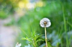 Одиночный одуванчик в конце-вверх зеленых цветов Стоковое Фото
