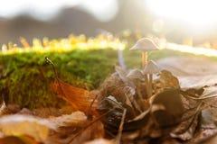 Одиночный передний план белого грибка гриба, бук выходит в лучи солнца леса осени золотые в оранжевых листьях темное волшебство Стоковые Фотографии RF