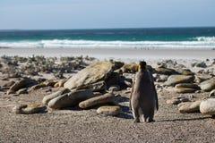 Одиночный пингвин короля Стоковое Изображение