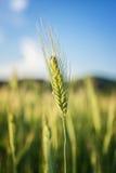 Одиночный поток пшеницы Стоковые Фотографии RF