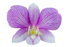 Одиночный пурпур орхидеи dendrobium Стоковое фото RF