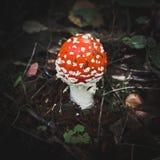 Одиночный пластинчатый гриб мухы Стоковые Изображения RF