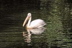 Одиночный розовый пеликан на зеленой воде Стоковая Фотография