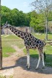 Одиночный рост жирафа полностью Стоковое Изображение RF
