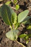 Одиночный саженец капусты Стоковое Изображение