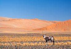Одиночный сернобык газеля сернобыка в Намибии, Африке Стоковые Изображения