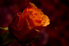 Одиночный созрейте розовая Стоковые Фотографии RF