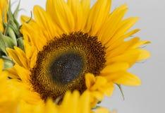одиночный солнцецвет Стоковое Изображение
