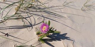 Одиночный тропический цветок пляжа Остров Frazer Стоковое Изображение RF
