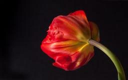 одиночный тюльпан Стоковое Изображение