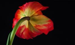 одиночный тюльпан Стоковое Изображение RF