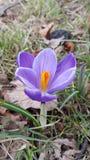 Одиночный фиолетовый крокус Стоковые Фотографии RF