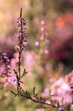 Одиночный цветок вереска Стоковое Изображение