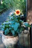 Одиночный цветок в баке светит как мини солнце Стоковые Изображения