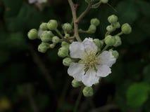 Одиночный цветок ежевики с бутонами позади Стоковое Изображение RF