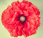 Одиночный цветок мака на винтажной предпосылке Стоковое Изображение RF