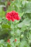 Одиночный цветок мака Стоковые Изображения RF