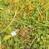 Одиночный цветок незабудки Стоковое Изображение