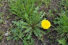 Одиночный цветок одуванчика в естественном злаковике Стоковая Фотография